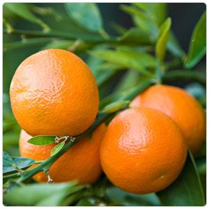 Mandarin - Clementine