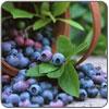 Puree - Blueberry