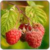 Puree - Red Raspberry